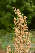 Quinoa plant in flower growing in a garden protected from deer by netting