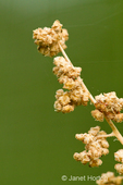 Quinoa plant in flower with dried flowers before harvesting