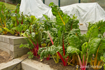 Bright Lights Swiss Chard growing in a raised bed vegetable garden, with some plants covered in plastic to encourage faster growth