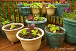 Bib and Redleaf lettuce growing in containers on a wood deck