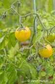Gold Nugget Cherry Tomatoes growing around a metal support