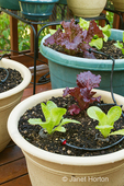 Container garden of Little Gem and Merlot lettuce