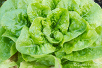 Little Gem lettuce close-up
