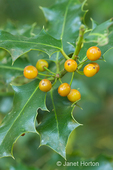 English Holly with orange berries which will eventually turn red, growing in a backyard