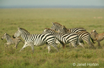 Common Zebra adults and baby running during migration