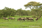 Wildebeest herd migrating in the savannah near a forest