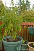 Gold Nugget Cherry Tomatoes growing in a container with a wire plant support