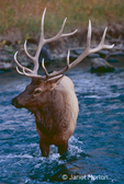 Bull Elk standing in a stream, with cool shadows behind him