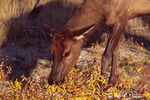 Elk calf eating small plants in Autumn