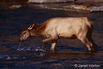 Elk calf drinking from a stream, with a dribble flowing out of its mouth