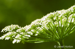 Cow Parsnip wildflower close-up