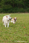 English Yellow Labrador, Murphy, and Cavalier King Charles Spaniel, Mandy, chasing a ball in a park