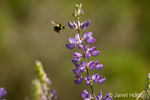 Red-tailed Bumblebee pollinating a Bush Lupine wildflower