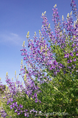 Bush Lupine with blue sky background