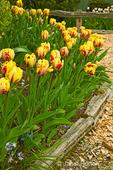 El Cid Tulips at Roozengaarde Flowers & Bulbs