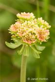 Sulfur Buckwheat wildflower close-up