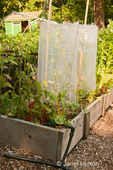 Tomato plants surrounded by plastic to keep them warmer in spring and encourage faster growth, in a raised bed garden next to potatoes, Bright Lights Swiss Chard and onions