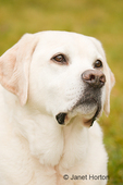 Portrait of Murphy, an English Yellow Labrador Retriever outside in the grass