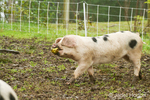 Gloucestershire Old Spots pig  with apple in its mouth, being chased by the other jealous pigs trying to get it