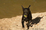 Black Labrador running up a hill with a ball in its mouth, after fetching it from a lake at a city park