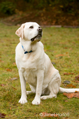 Murphy, English Yellow Labrador Retriever, sitting on command, in a park