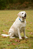 Murphy, English Yellow Labrador Retriever, smiling while sitting on command, in a park