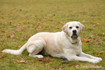 Murphy, English Yellow Labrador Retriever, lying down on command, in a park