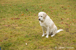 "Murphy, English Yellow Labrador Retriever, sitting in a ""leave it"" command to leave the dog biscuit alone, in a park"
