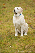 """Murphy, English Yellow Labrador Retriever, sitting in a """"leave it"""" command to leave the dog biscuit alone, in a park"""