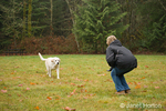 Murphy, English Yellow Labrador Retriever, running to owner after a