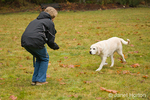 """Murphy, English Yellow Labrador Retriever, running to owner after a """"come"""" command, in a park"""