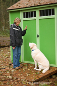 """Murphy, English Yellow Labrador Retriever, sitting after a """"wait"""" or """"stay"""" command, next to a garden shed"""
