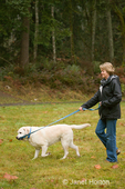 Murphy, English Yellow Labrador Retriever, chewing on his leash while walking with his owner in a park