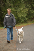 Murphy, English Yellow Labrador Retriever, chewing on his leash while walking with his owner on the side of the road