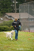 Murphy, English Yellow Labrador Retriever, heeling off leash while running with his owner next to a tennis court