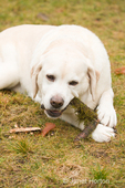 Murphy, English Yellow Labrador Retriever, lying down in the grass, chewing on a stick