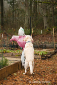 Murphy, English Yellow Labrador Retriever, checking out and jumping on scarecrow in a raised bed garden