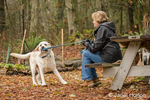 Murphy, English Yellow Labrador Retriever, playfully tugging on leash with owner, in a park