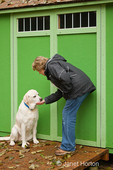 Woman giving a treat to Murphy, an English Yellow Labrador Retriever, to reward good behavior, next to a garden shed