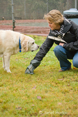 Woman cleaning up poop while walking Murphy, an English Yellow Labrador dog outside near a tennis court in western Washington, USA