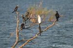 Reed Cormorants and a Cattle Egret perched on a dead tree