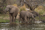 Elephant herd with adults and juveniles drinking from river