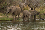 Elephant herd with adults and juveniles drinking from the river