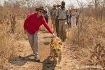 Woman petting a young male lion as it walks on the Masuwe Estate