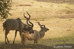 Two male Kudu on the Nakavango Estate which is part of the Victoria Falls Private Game Reserve.