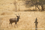 Male Kudu walking in the Nakavango Estate which is part of the Victoria Falls Private Game Reserve.