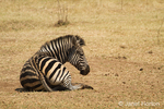 Zebra on the Nakavango Estate which is part of the Victoria Falls Private Game Reserve.