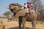 Tourists and elephant handler riding on an African Elephant