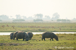 Hippos grazing near Chobe river with an impala herd in the background,