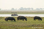 Hippos grazing near Chobe river with a safari boat in the river observing them